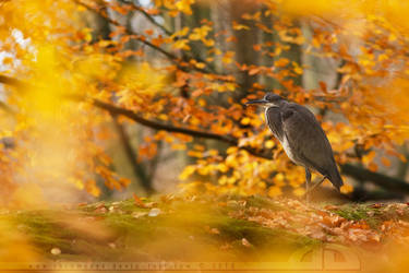 Grey Heron, yellow autumn by thrumyeye