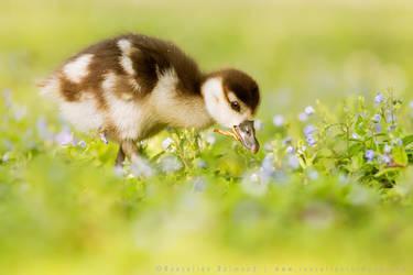 Harbinger of Spring! by thrumyeye