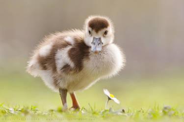 The Gosling, the Daisy and New Blog by thrumyeye