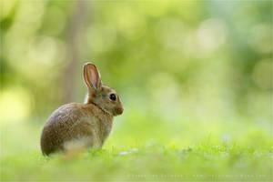 Bokeh Rabbit by thrumyeye