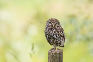 Little Owl by thrumyeye