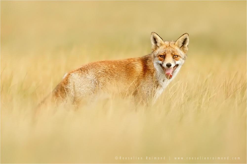 The Laughing Fox by thrumyeye