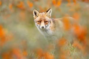 Autumn Fox by thrumyeye