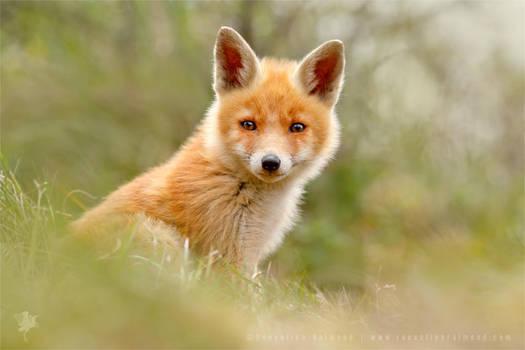 The Face of Innocence ... Red Fox Kit by thrumyeye