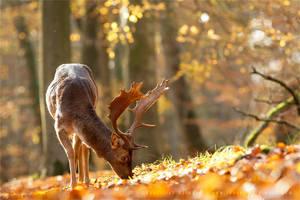 Autumn Light and Fallow Deer by thrumyeye