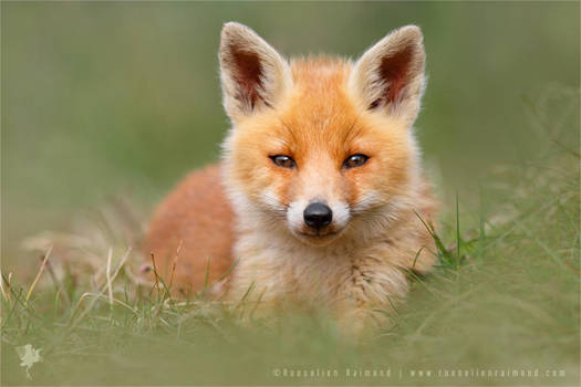 SoftFox - Cute Fox Cub by thrumyeye