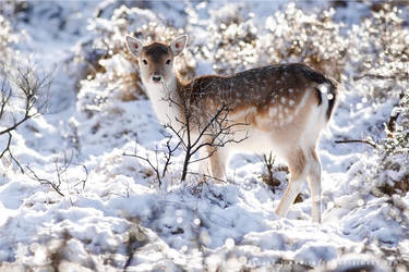 Fallow Deer in Snow World by thrumyeye