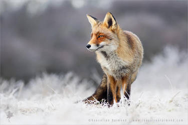 The Fox and the Hoar Frost by thrumyeye