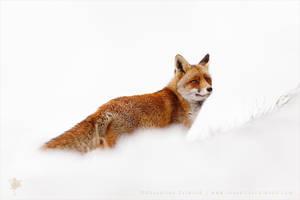 Red Fox in a White World by thrumyeye