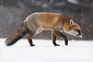 Red Fox Braving a Blizzard by thrumyeye