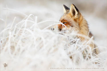The Catcher in the Rime .:. Red Fox and Hoar Frost by thrumyeye