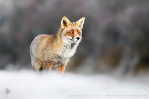 Red Fox in the Snow by thrumyeye