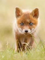 Cute Red Fox Kit by thrumyeye