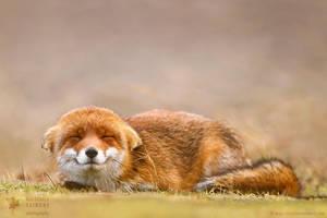 Smiling Fox is Smiling by thrumyeye