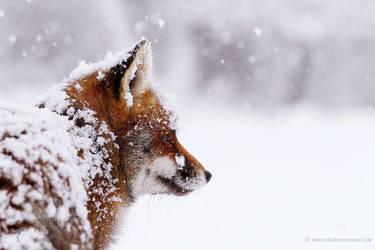 Happy 2017! Red Fox in a Blizzard by thrumyeye