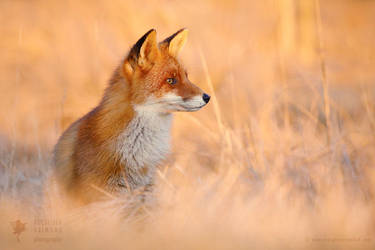 Focused Fox by thrumyeye