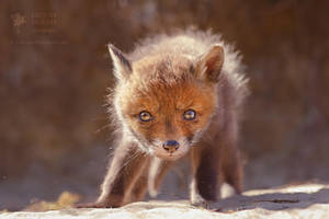 Red Fox Baby by thrumyeye