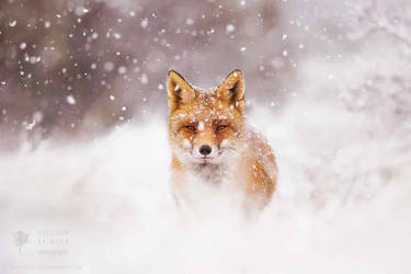Fairytale Fox- Red Fox in the Snow by thrumyeye