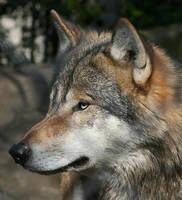 Sniffing Wolf by thrumyeye
