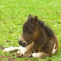 Newborn Minihorse by thrumyeye