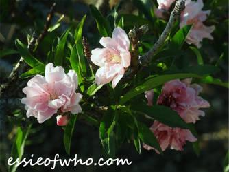 2015 Spring Blossom No. 5 by EssieofWho