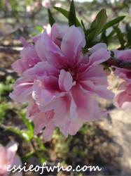 2015 Spring Blossom No. 6 by EssieofWho