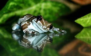Amazonian Milk Frog by FauxHead