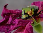 Dead Rose Beetle by FauxHead