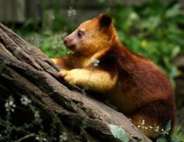 Tree-kangaroo baby by Mias-Photography