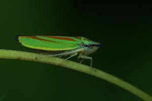 Graphocephala fennahi by Azph