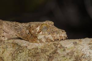 Mossy Leaf-tailed Gecko (Uroplatus sikorae) by Azph