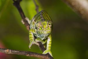 Jeweled Chameleon (Furcifer lateralis) by Azph