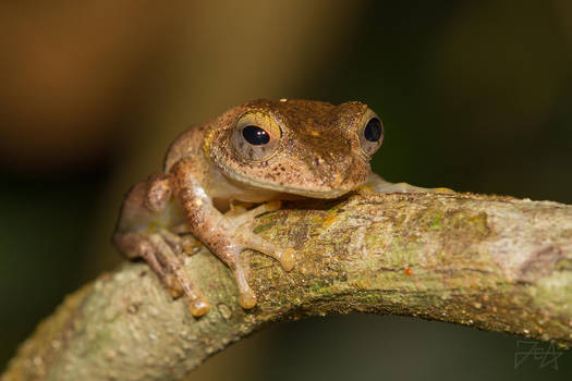 Mantellid frog (Boophis sp.) by Azph