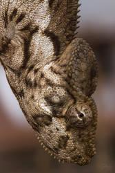 Malagasy giant chameleon (Furcifer oustaleti) by Azph