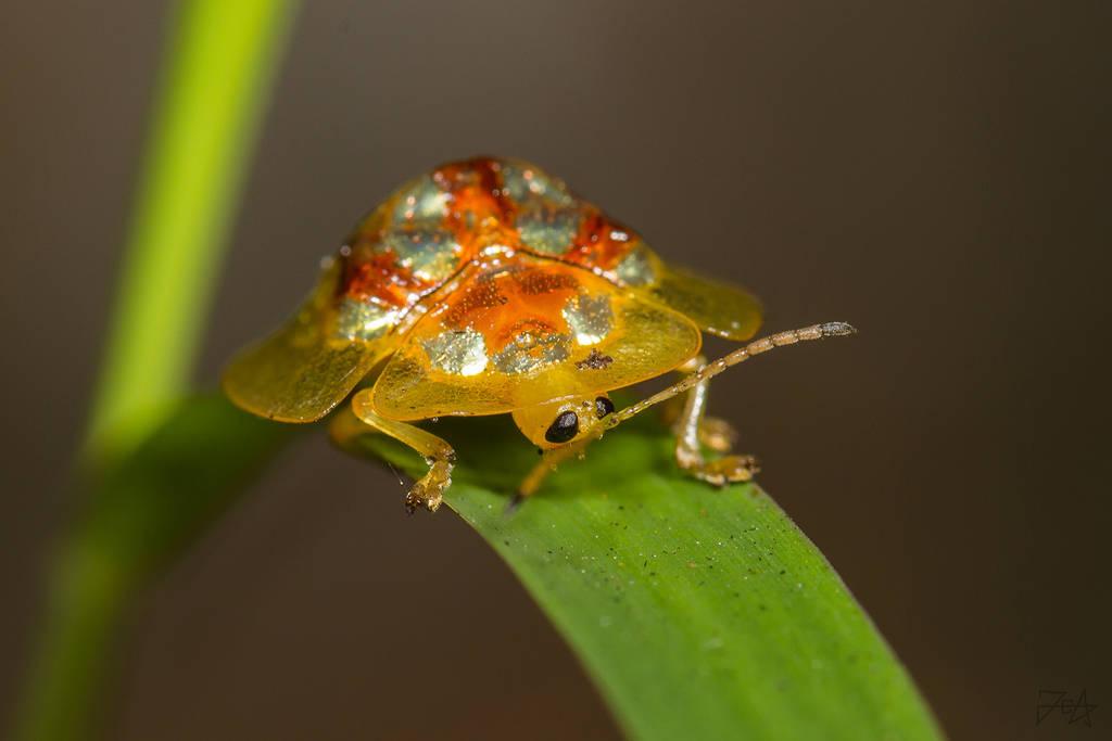 Leaf Beetle (Hovacassis murzini) by Azph