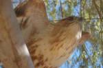 Eagle by Seiden-Stocks
