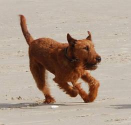 Running dog - Irish Terrier by Seiden-Stocks