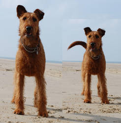 Standing - Irish Terrier by Seiden-Stocks