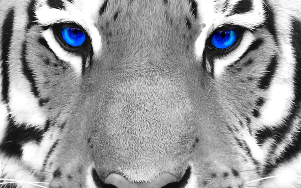 Tiger Eyes Wallpaper By Josephtribuzio On Deviantart