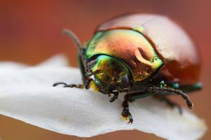 Colourful Beetle by Abovelifesize