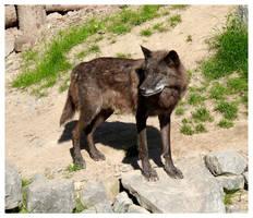 Timberwolf by WolfOfDarkness