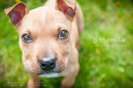 Liam the Pit Pup by breanna-rae