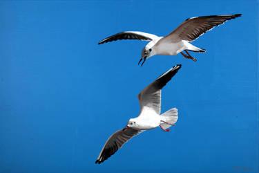 seagull No 3 by guidokleinhans