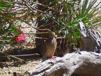 Baby  Mourning Dove by angelskissme