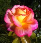 Flaming Rose by ak1508