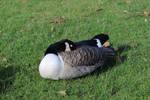 Canada Goose asleep by ak1508