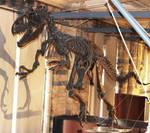 Allosaurus Skeleton by ak1508