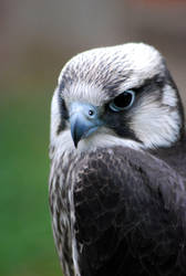Bird of Prey by Aniallation
