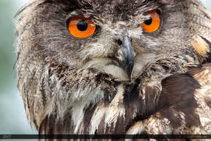 Eurasian Eagle-Owl 1 by Canisography