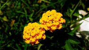 Yellow Flowers III by MichaelNN